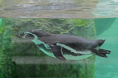Humboldtpinguin im Zoo d'Amiens