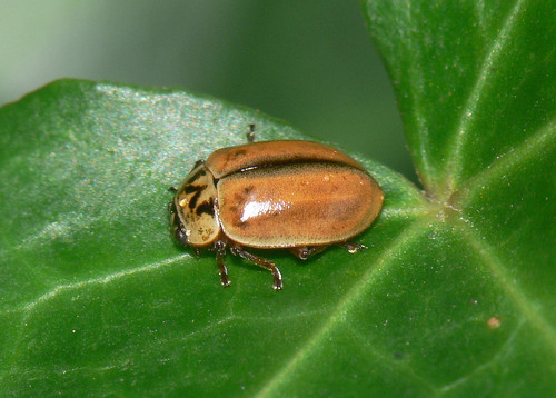 Larch ladybird (Aphidecta obliterata)