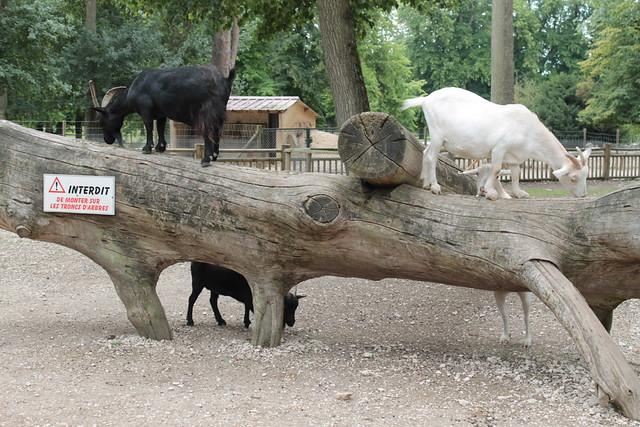 Les chèvres ne savent pas lire.