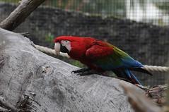 Grünflügelara im Zoo de Maubeuge