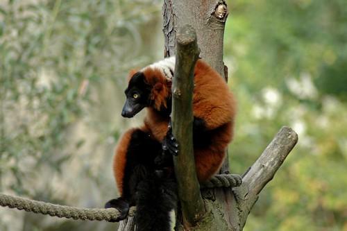 Roter Vari im Zoo d'Amiens