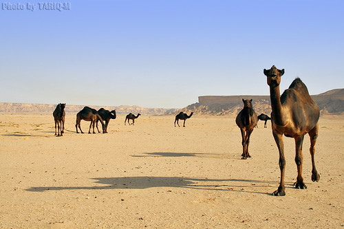 Camels Shadow by TARIQ-M