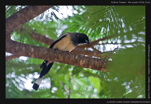 Rufous Treepie - the cousin of the Crow