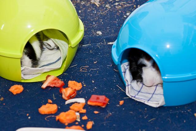 dos cobayas durmiendo en sus casitas de plástico
