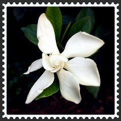 My gardenias are blooming again