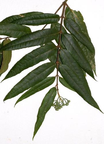 Austromatthaea elegans