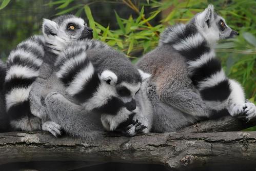 Kattas im Zoo d'Amiens