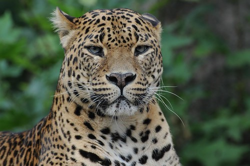 Sri Lanka Leopard im Zoo de Maubeuge