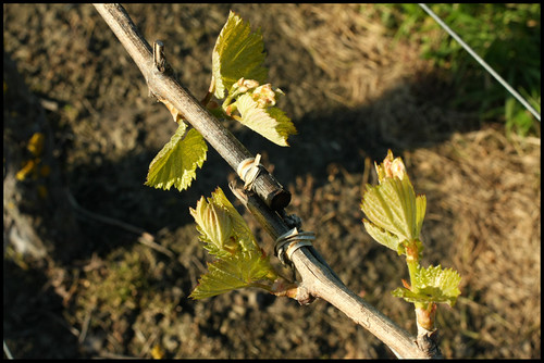 New Shoots on Chardonnay