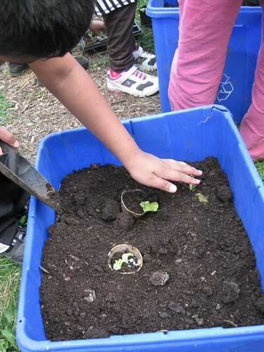 transplanting lettuce.