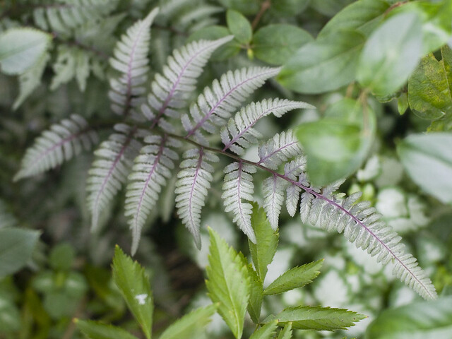 Athyrium 'Burgundy Lace'