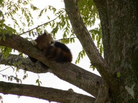 木の上でお休み@京都市動物園