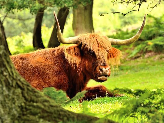 Cow_Print