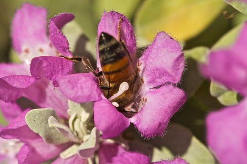 Bee in Texas Barometer Bush