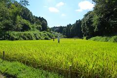 新治市民の森(田んぼ)(Rice paddy, Niiharu Community Woods)