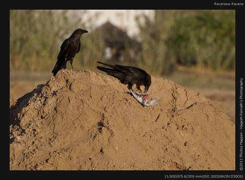 Ravenous Ravens