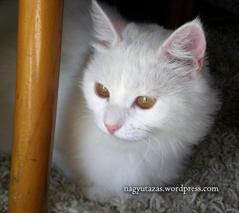 Édes török angóra cica