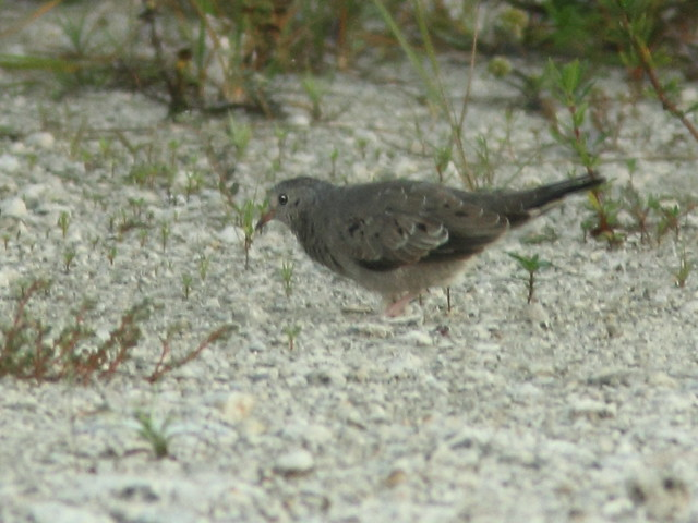 Common Ground-Dove 2-20110916