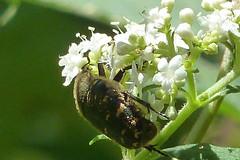 新治市民の森のコアオハナムグリ(Beetle, Niiharu Community Woods)