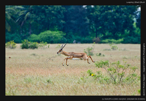 Leaping (Black)Buck