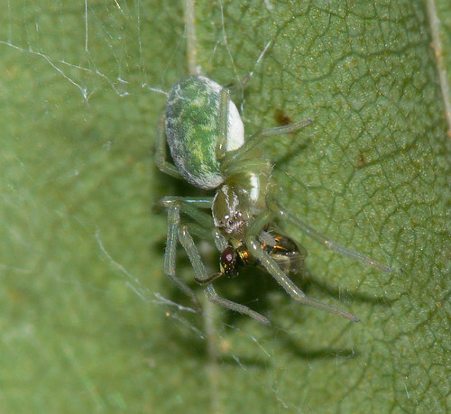 Nigma walckenaeri with prey