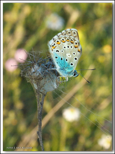 Niña celeste - Polyommatus bellargus by dedaimiel