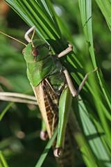 新治市民の森のトノサマバッタ(Grasshopper, Niiharu Community Woods)