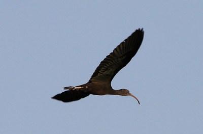 2011_09_17 TD - Glossy Ibis (Plegadis falcinellus) 02