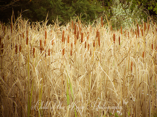 Cat Tails by Child of the King / Beckie