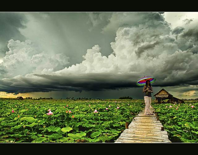 lotus fields and the approaching rain..
