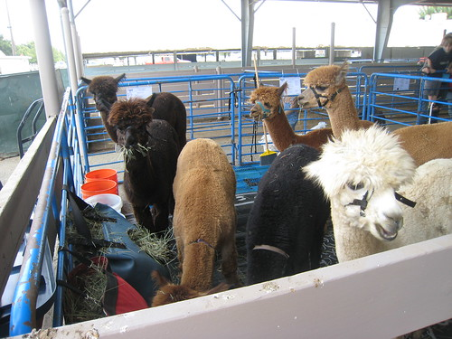 2011_10_01_Lambtown_c_alpacas