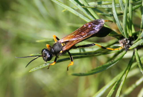Spider wasp sp.