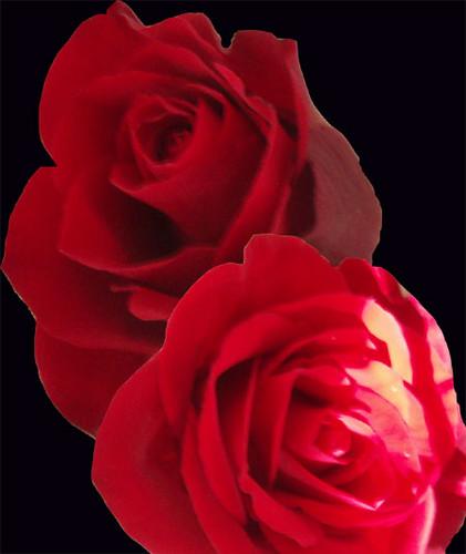 Roses - a photo manipulation