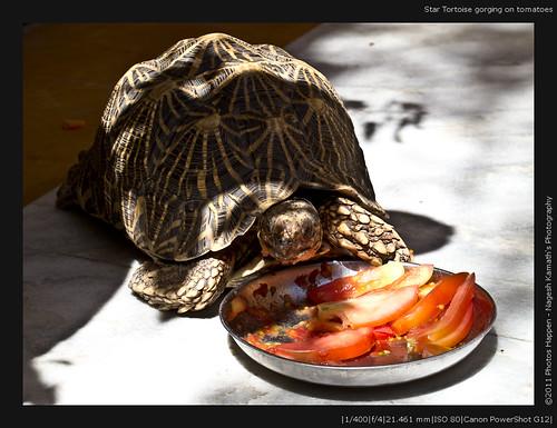 Star Tortoise gorging on tomatoes