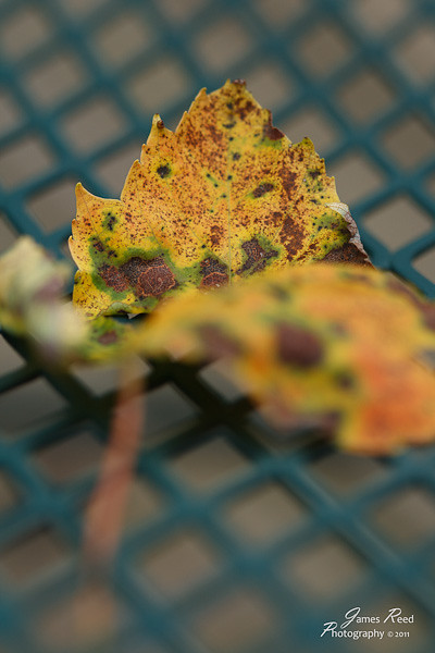 The first fallen leaf of Fall.