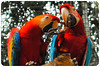 Arara vermelha - Red Macaw by Shalla Ball