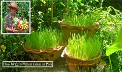 How to Grow Wheat-Grass-in-pots