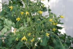 centiflor tomato flowers