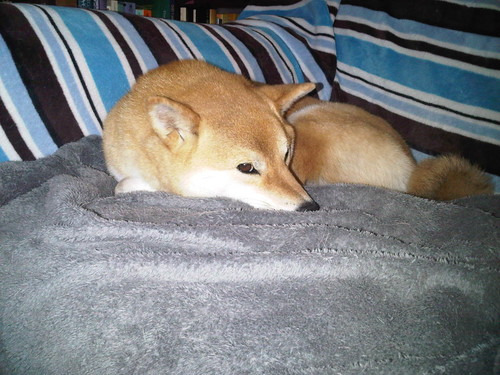 Shiba-ism no.5: An empty spot on the couch is MY spot! #shibainu
