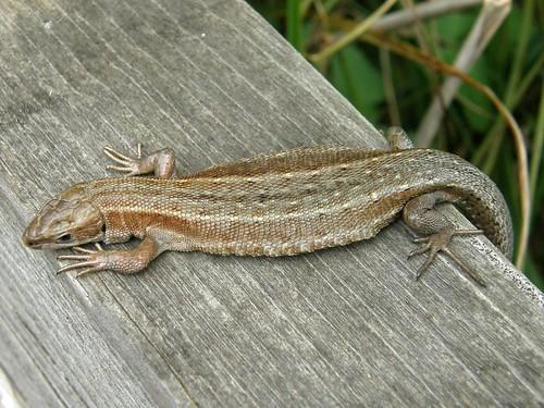 A paler, medium-sized common lizard