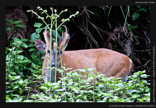 Barking Deer (Male)
