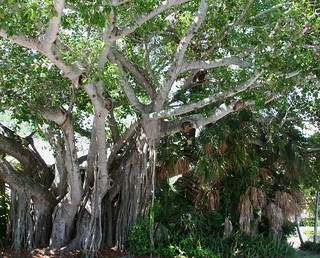 amazing root tree - over 100 years old
