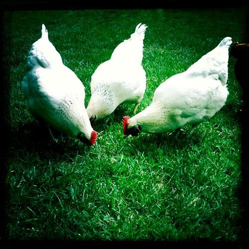 Deb's Chickens