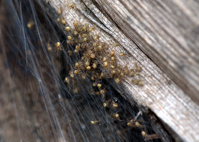 Baby dock spiders!