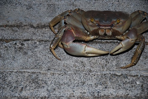 Huge Crab by Julienne Pascoe