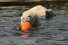 Eisbären Henk und Beja im Dierenrijk Mierlo bei Eindhoven