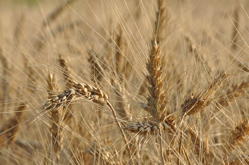 hard red winter wheat, nearly ripe