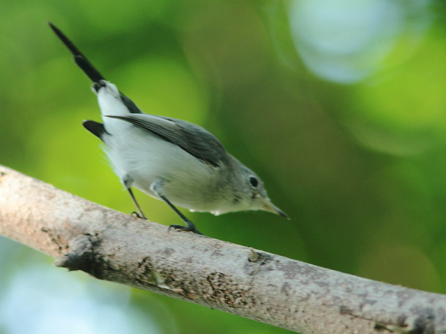 Blue-gray Gnatcatcher 2-20110914