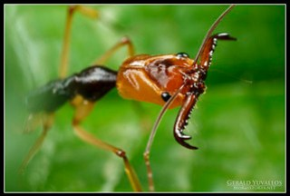 Trap Jaw Ant Portrait