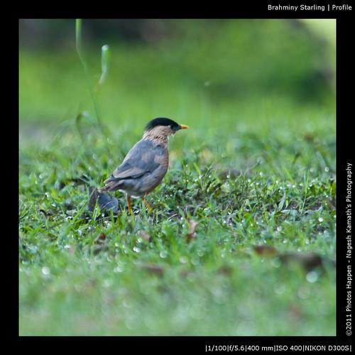 Brahminy Starling | Profile